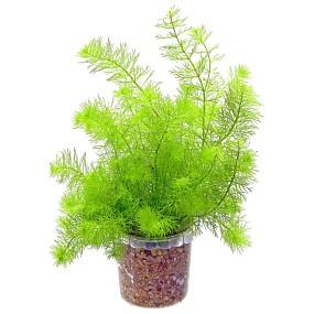 """Myriophyllum sp. """"Guyana"""""""