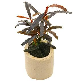 "Bucephalandra sp. ""Velvet Tricolor"" - Einzelpflanze"