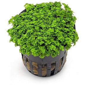 wasserpflanzen f r aquarien und aquascapes g nstig kaufen. Black Bedroom Furniture Sets. Home Design Ideas