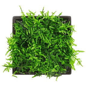 """Vesicularia cf. montagnei """"Krabi"""" - Pad - 5 x 5 cm"""