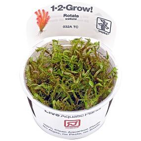 Rotala wallichii - 1-2-GROW!