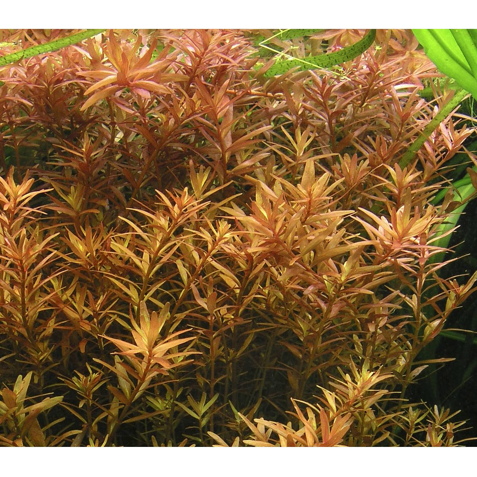 Rotala rotundifolia submers