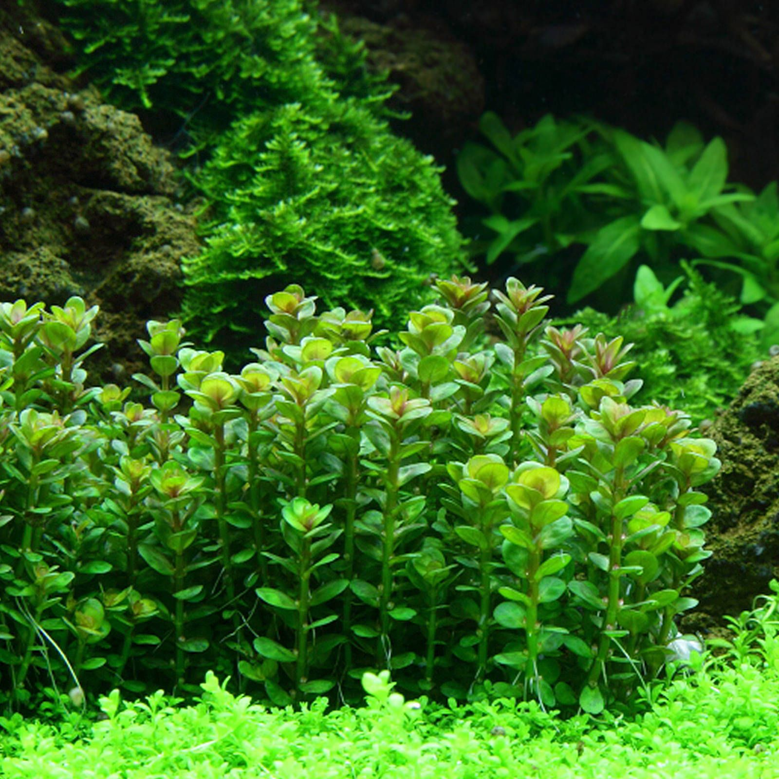 Rotala indica - 1-2-GROW!