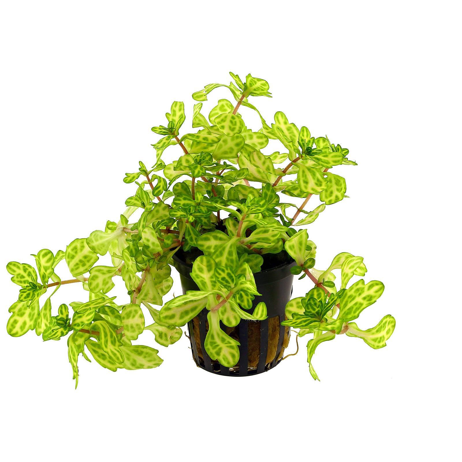 Shinnersia rivularis WeissGrün  Weißgrünes Eichenblatt