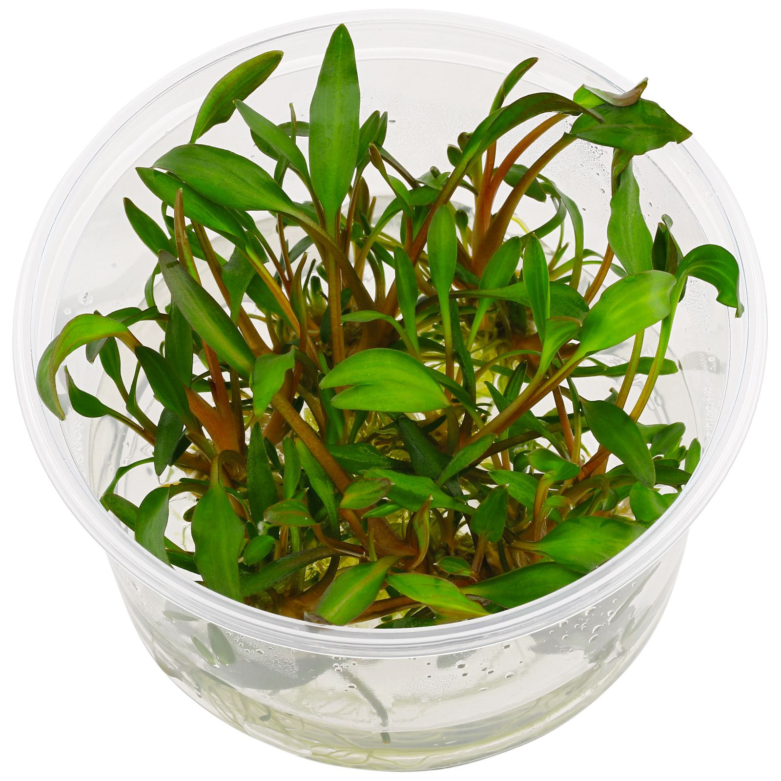 Cryptocoryne walkeri 'Hobbit' - Plant-It!
