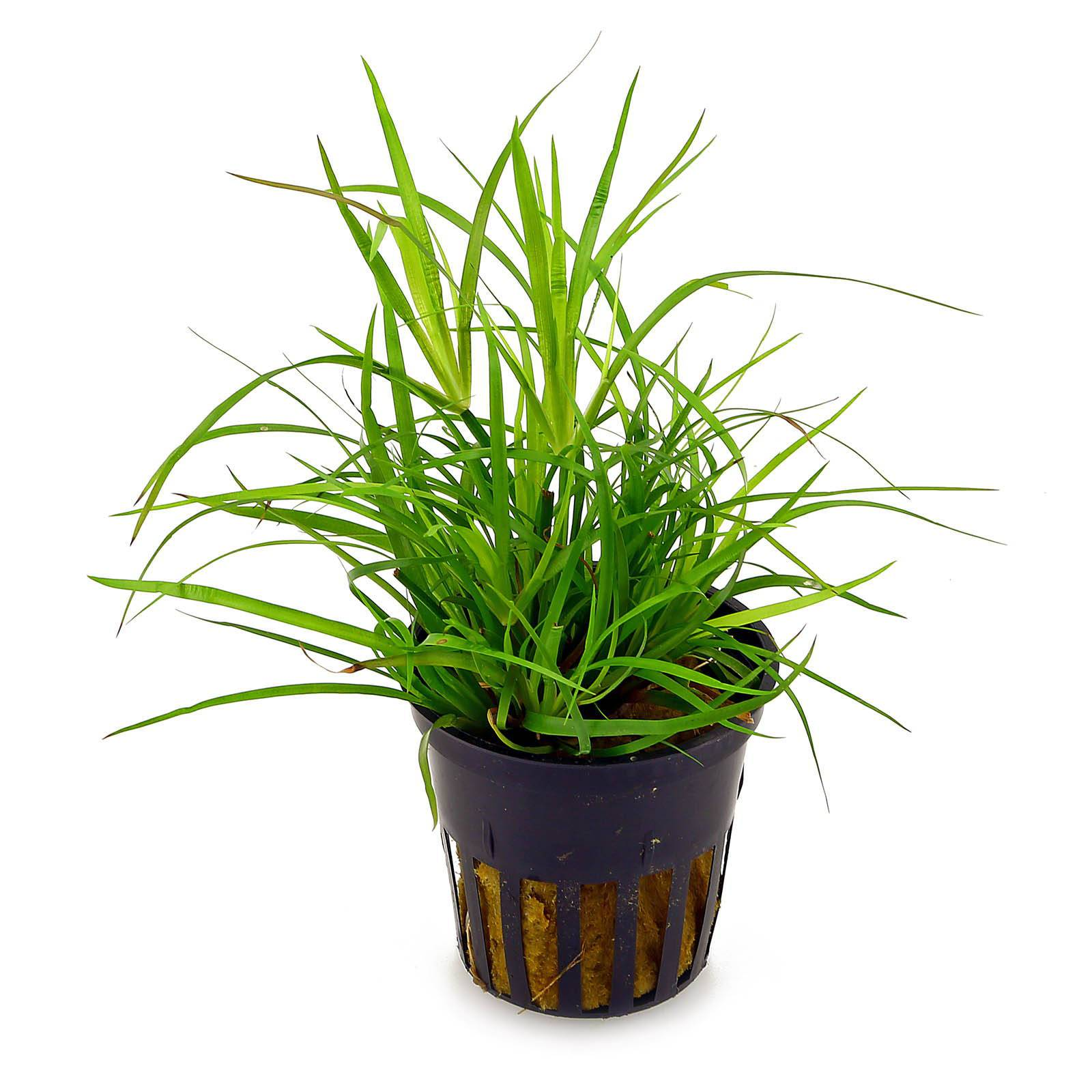 Juncus repens - in Vitro XL