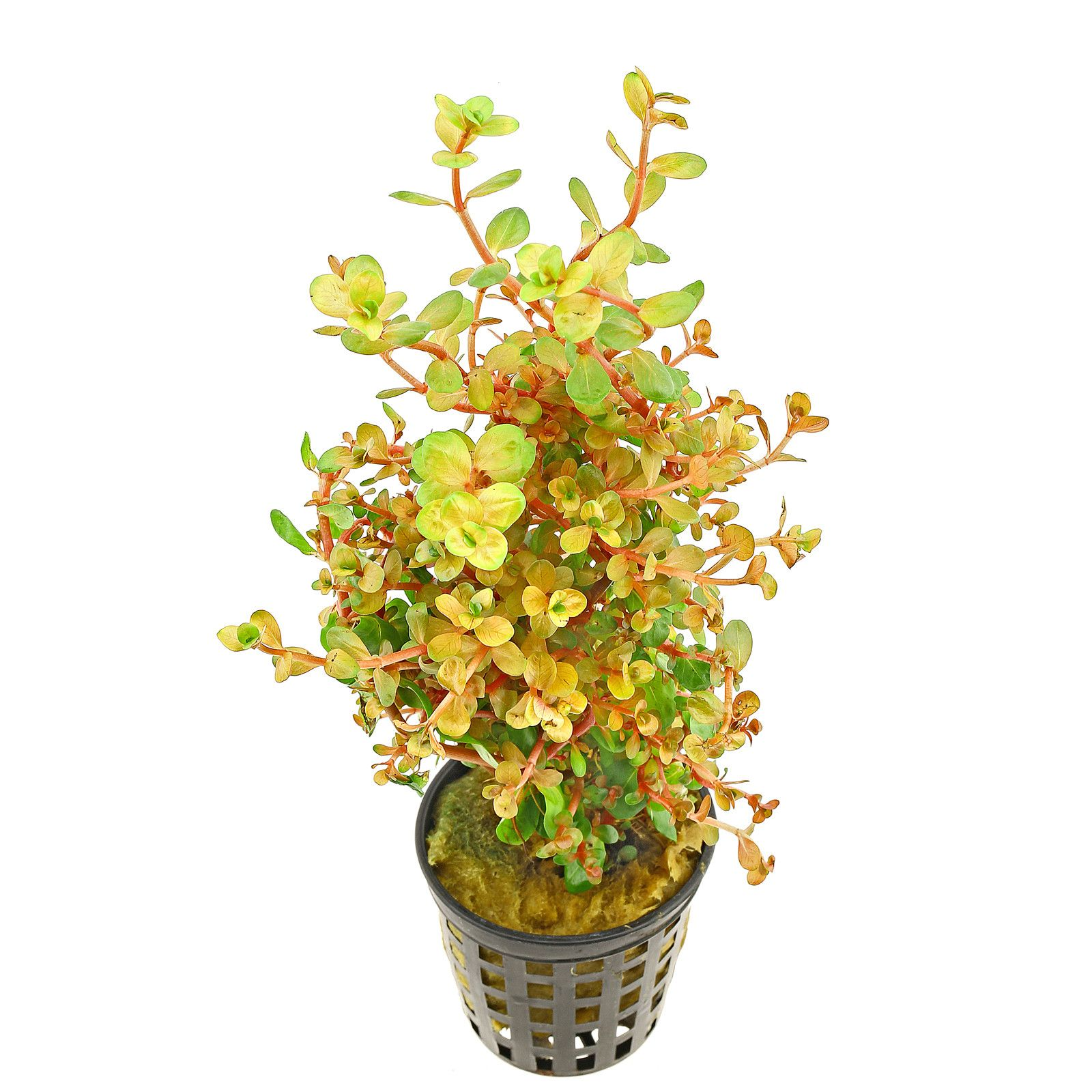 Rotala rotundifolia 'Orange Juice' - Topf