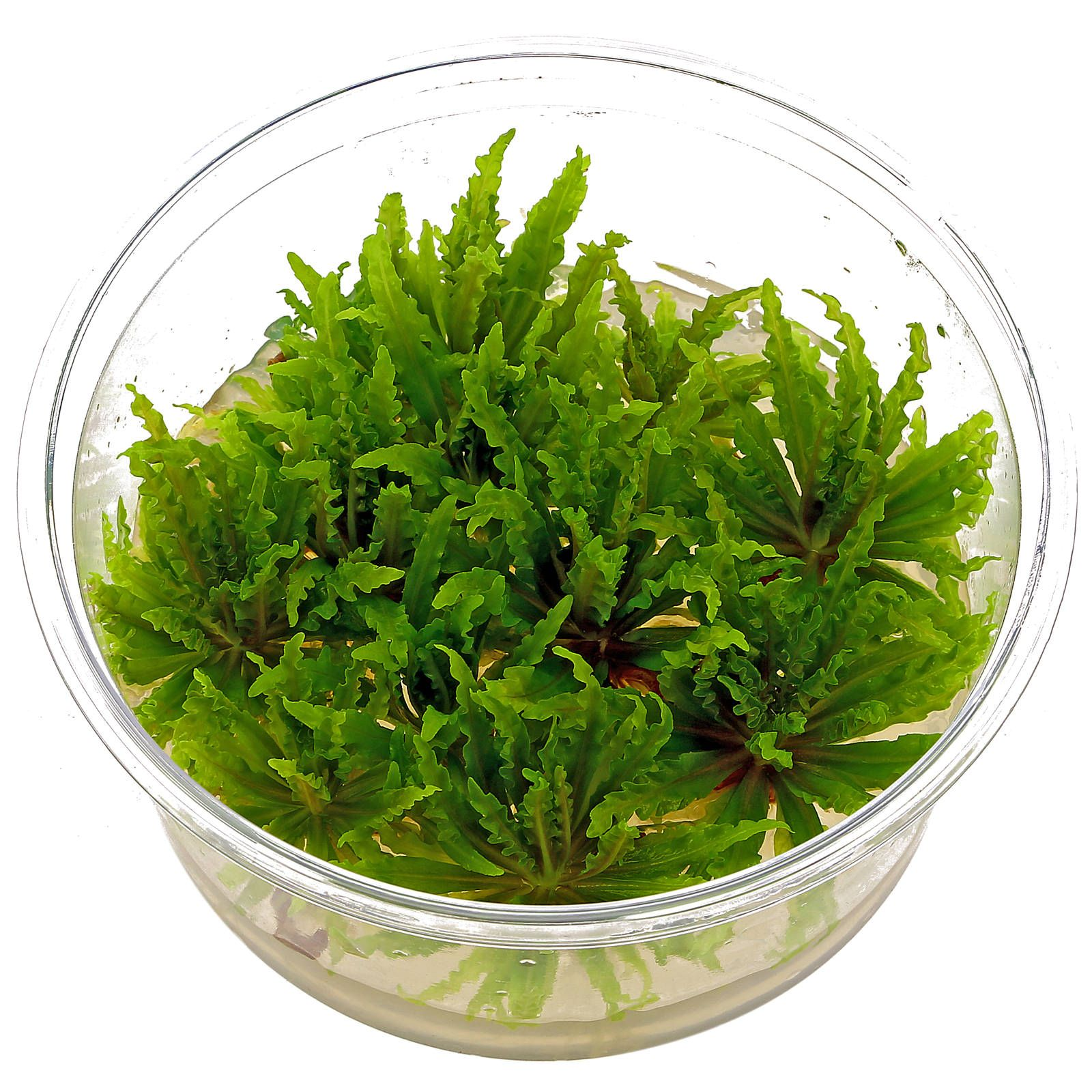 Pogostemon helferi - in Vitro XL