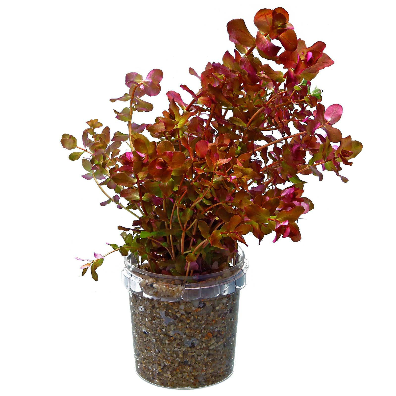 rotala macrandra quotgreenquot quotwavyquot
