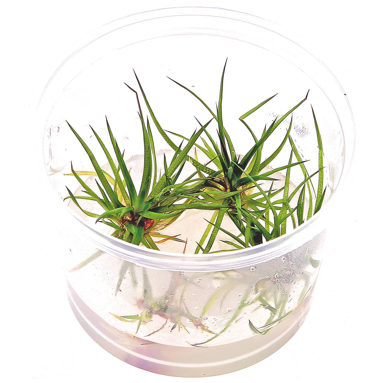 Eriocaulon sp. - in Vitro