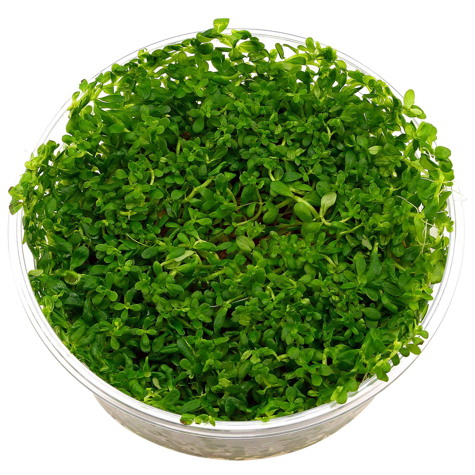 "Rotala sp. ""Green"" - Topf"
