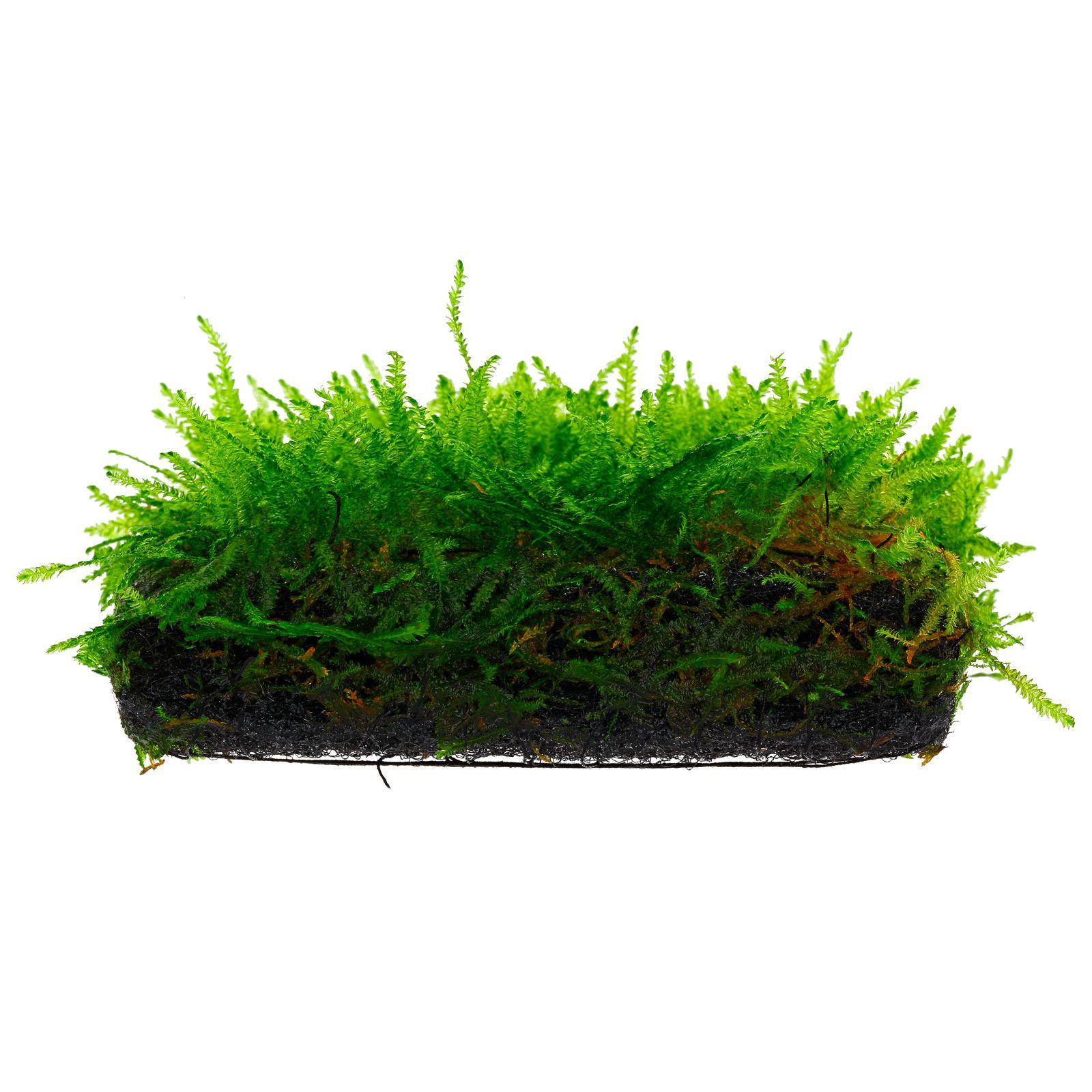 "Taxiphyllum sp. ""Spiky Moss"" - in Vitro XL"