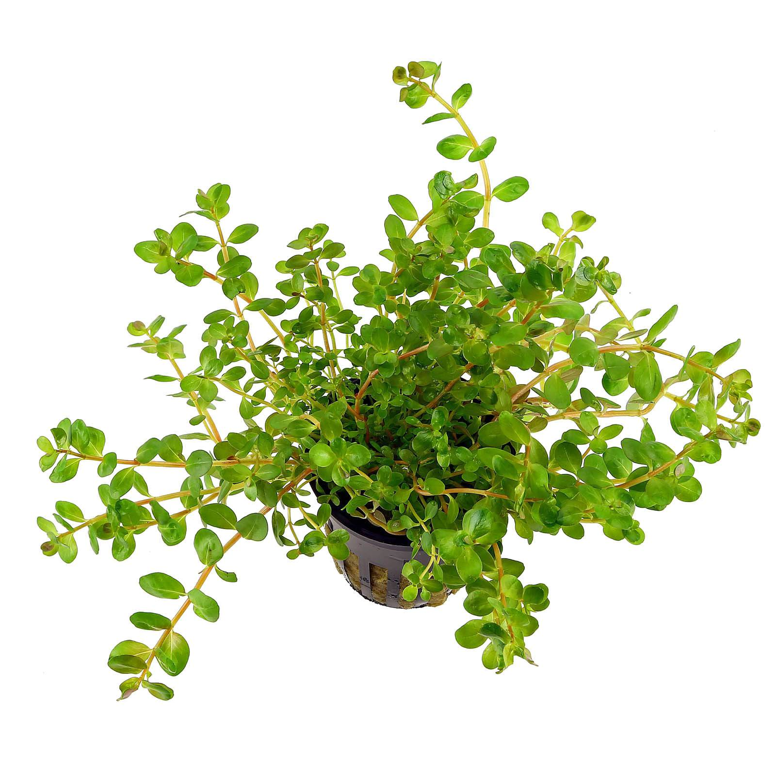 Rotala rotundifolia emers