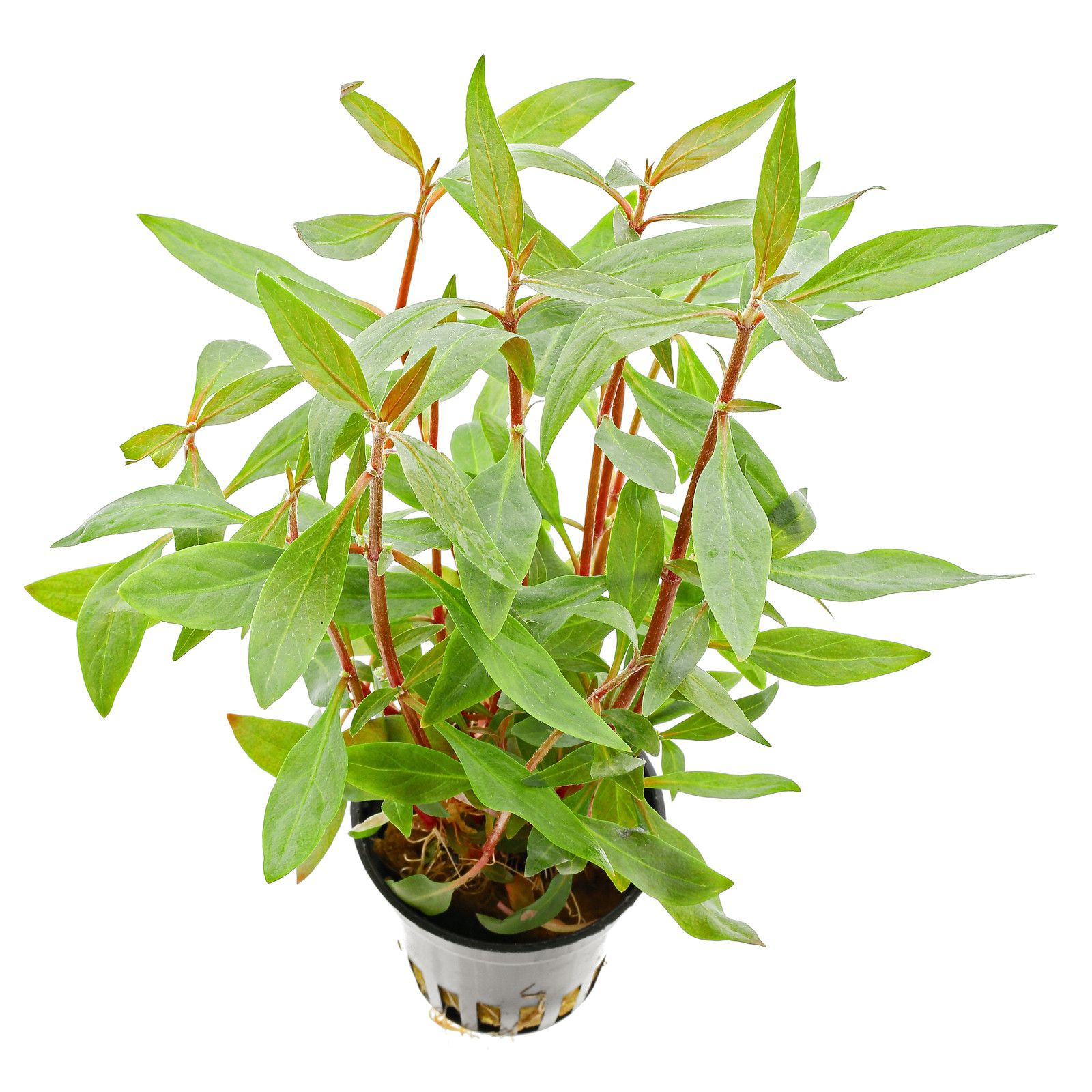 Alternanthera reineckii 'Mini' - 1-2-GROW!