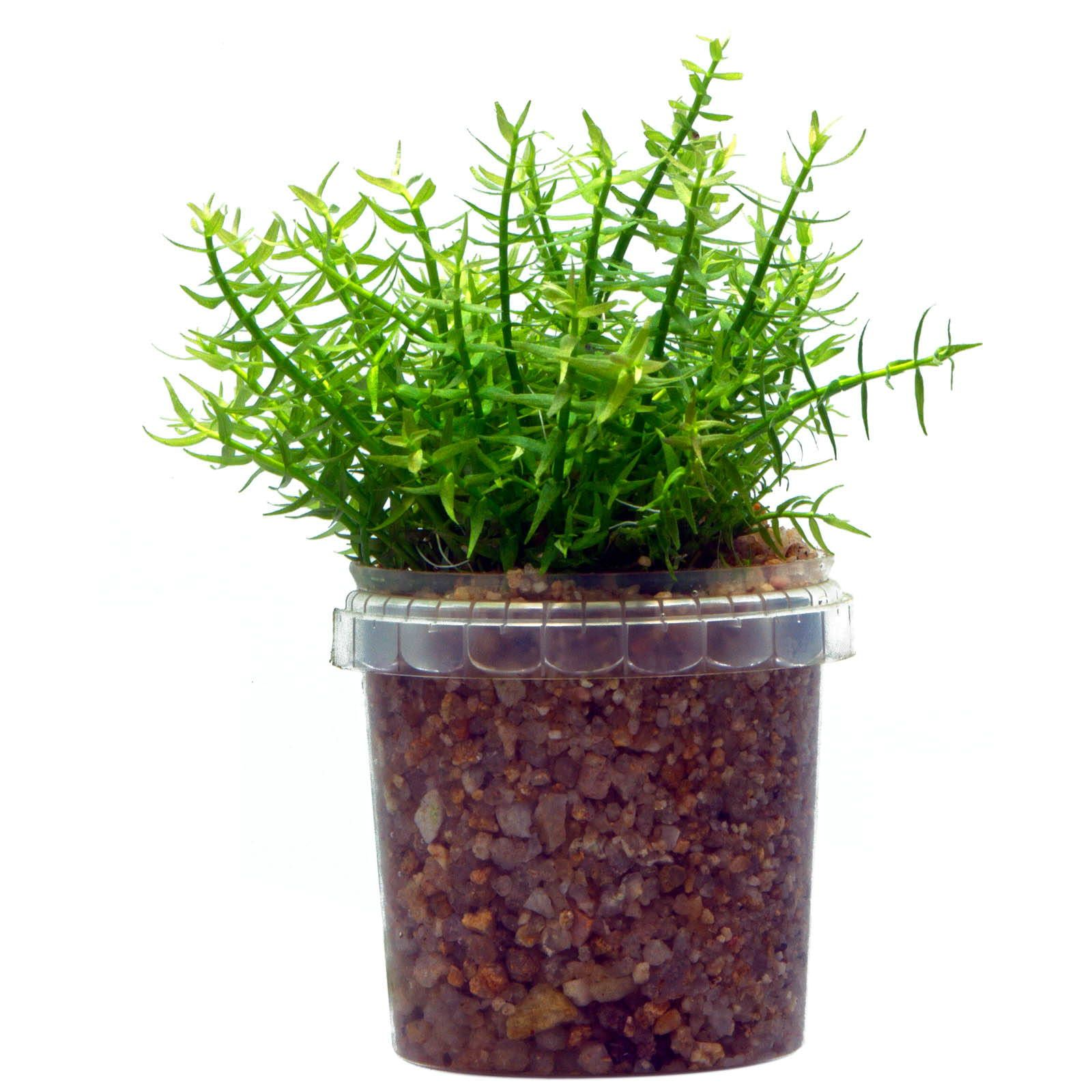 Gratiola viscidula - 1-2-GROW!