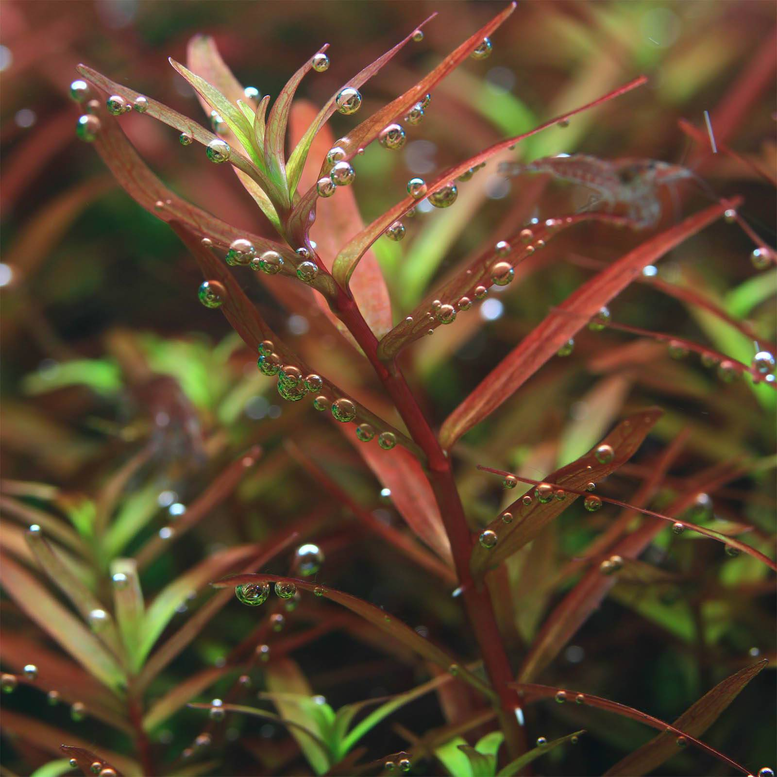 "Rotala sp. ""Colorata"" - in Vitro XL"